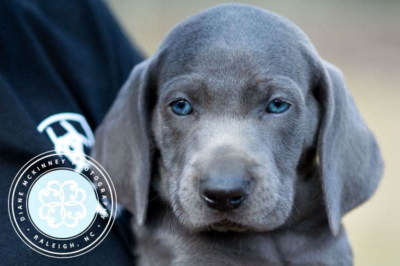 Weimaraner Puppies | Pet Photography