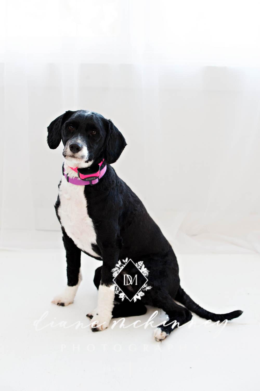 Dog Photos in Studio